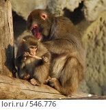 Купить «Мать и детеныш японской мартышки», фото № 546776, снято 30 октября 2007 г. (c) Akunia-Gerrero N.V. / Фотобанк Лори
