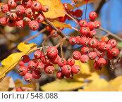 Купить «Ветка боярышника», фото № 548088, снято 26 октября 2008 г. (c) Алла Кригер / Фотобанк Лори