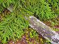 Лесной коврик - ветки ели и ствол старого дерева, фото № 548488, снято 23 июля 2006 г. (c) Вадим Кондратенков / Фотобанк Лори