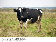 Корова на пастбище. Стоковое фото, фотограф Ирина Чернявская / Фотобанк Лори