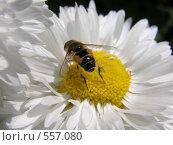Купить «Маргаритка», фото № 557080, снято 7 июня 2008 г. (c) Евгений Перов / Фотобанк Лори