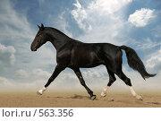 Лошадь вороной масти бежит рысью. Стоковое фото, фотограф Титаренко Елена / Фотобанк Лори