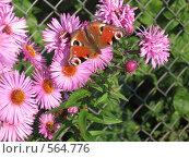 Бабочка на цветке. Стоковое фото, фотограф Ксения Андраманова / Фотобанк Лори