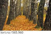 Купить «Березовая осень», фото № 565960, снято 11 октября 2008 г. (c) Анатолий Теребенин / Фотобанк Лори