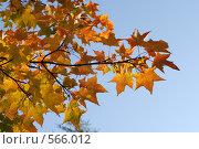 Осенняя ветка. Стоковое фото, фотограф Диана Иванкова / Фотобанк Лори