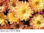 Купить «Хризантемы», фото № 571964, снято 19 ноября 2017 г. (c) Юрий Брыкайло / Фотобанк Лори
