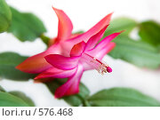 Купить «Цветущий зигокактус (декабрист)», фото № 576468, снято 28 марта 2008 г. (c) Ольга Красавина / Фотобанк Лори
