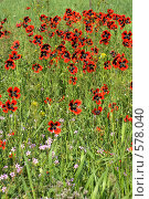 Купить «Красные маки», фото № 578040, снято 1 мая 2008 г. (c) Сергей Литвиненко / Фотобанк Лори