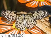 """Купить «Тропическая бабочка семейства Idea leuconoe  (""""Бумажный змей"""" или """"Рисовая бумага"""") кормится на дольках банана», фото № 581200, снято 28 октября 2008 г. (c) Эдуард Межерицкий / Фотобанк Лори"""