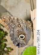 Купить «Тропическая бабочка отряда Caligo (Калиго), сидящая на листе», фото № 581204, снято 28 октября 2008 г. (c) Эдуард Межерицкий / Фотобанк Лори
