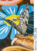 """Купить «Тропическая бабочка семейства Idea leuconoe  (""""Бумажный змей"""" или """"Рисовая бумага"""") кормится на дольках банана», фото № 581208, снято 28 октября 2008 г. (c) Эдуард Межерицкий / Фотобанк Лори"""