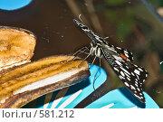 """Купить «Тропическая бабочка семейства Papilio demoleus (""""Парусник лимонный"""") кормится на ломтике банана», фото № 581212, снято 28 октября 2008 г. (c) Эдуард Межерицкий / Фотобанк Лори"""