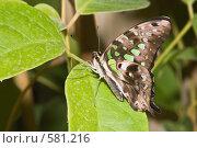 Купить «Тропическая бабочка Graphium agamemnon, сидящая на листьях», фото № 581216, снято 28 октября 2008 г. (c) Эдуард Межерицкий / Фотобанк Лори