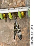 """Купить «Тропическая бабочка семейства Idea leuconoe (""""Бумажный змей"""" или """"Рисовая бумага"""") только что вышедшая из куколки», фото № 581244, снято 28 октября 2008 г. (c) Эдуард Межерицкий / Фотобанк Лори"""