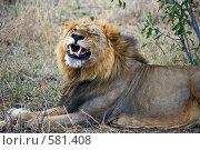 Царь зверей. Стоковое фото, фотограф Дмитрий Перельман / Фотобанк Лори