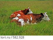 Коровы-родственницы. Стоковое фото, фотограф Андрей Давиденко / Фотобанк Лори