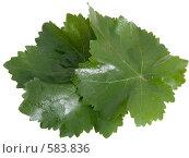 Листья винограда на белом фоне. Стоковое фото, фотограф Анатолий Заводсков / Фотобанк Лори