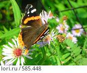 Бабочка пьёт нектар из цветка. Стоковое фото, фотограф Галина Гуреева / Фотобанк Лори