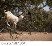 Коза на ветках арганиевого дерева. Стоковое фото, фотограф Кирилл Дорофеев / Фотобанк Лори