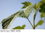 Купить «Зеленый лист малины», фото № 587416, снято 19 июня 2008 г. (c) Илья Телегин / Фотобанк Лори