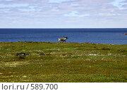Северный олень, идущий по летней тундре на фоне моря (Терский берег Белого моря) Стоковое фото, фотограф Наталия Шевченко / Фотобанк Лори