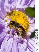 Купить «Цветочная муха на цветке астры в саду», эксклюзивное фото № 592048, снято 12 сентября 2008 г. (c) Алексей Бок / Фотобанк Лори