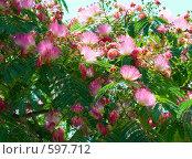Купить «Цветы акации (Albizzia julibrissin)», фото № 597712, снято 29 июня 2008 г. (c) Павел Вахрушев / Фотобанк Лори
