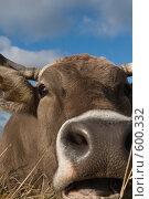 Купить «Голова коровы крупным планом», фото № 600332, снято 3 ноября 2008 г. (c) Владимир Воякин / Фотобанк Лори