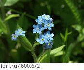 Купить «Голубые незабудки», фото № 600672, снято 19 мая 2005 г. (c) Сергей Бехтерев / Фотобанк Лори