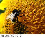 Купить «Шмель на подсолнухе», фото № 601012, снято 2 августа 2008 г. (c) Олег Рыбаков / Фотобанк Лори