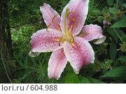Купить «Лилия розовая», фото № 604988, снято 24 июля 2007 г. (c) Тарасова Татьяна / Фотобанк Лори