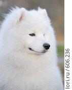 Купить «Самоедская собака - Юный Чемпион России», фото № 606236, снято 8 ноября 2008 г. (c) Абрамова Ксения / Фотобанк Лори