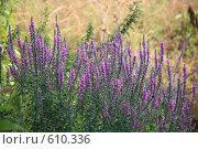 Фиолетовые цветы. Стоковое фото, фотограф Володина Светлана / Фотобанк Лори