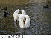 Купить «Лебеди», фото № 610548, снято 15 марта 2008 г. (c) Lina Kurbanovsky / Фотобанк Лори