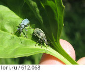 Купить «Два жука на листе подорожника», фото № 612068, снято 13 июня 2008 г. (c) Светлана Кудрина / Фотобанк Лори