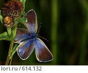 Купить «Голубянка Алексис (небесная), самка», фото № 614132, снято 16 сентября 2019 г. (c) Александр Савушкин / Фотобанк Лори