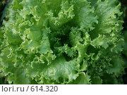 Зелёный салат. Стоковое фото, фотограф EVA / Фотобанк Лори