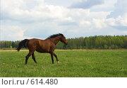 Купить «Гнедая лошадь скачет галопом по полю», фото № 614480, снято 10 мая 2008 г. (c) Алексей Крылов / Фотобанк Лори