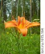 Купить «Дикая лилия на лесной поляне», фото № 615164, снято 15 июля 2008 г. (c) Иванова Наталья / Фотобанк Лори