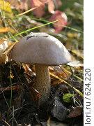 Осенний гриб подберёзовик на закате солнца. Стоковое фото, фотограф Сергей Негробов / Фотобанк Лори