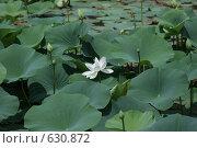 Белые лотосы. Стоковое фото, фотограф Руслан Эльквест / Фотобанк Лори
