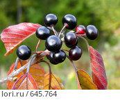 Лесные ягоды. Стоковое фото, фотограф Александр Лихачев / Фотобанк Лори