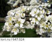 Купить «Ветка цветущей яблони», фото № 647024, снято 3 мая 2008 г. (c) Светлана Кудрина / Фотобанк Лори