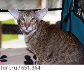 Купить «На выставке кошек», фото № 651364, снято 20 декабря 2008 г. (c) Виктор Филиппович Погонцев / Фотобанк Лори