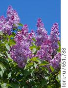 Купить «Цветы сирени на фоне голубого неба. Крупный план», фото № 651788, снято 25 мая 2008 г. (c) Max Toporsky / Фотобанк Лори