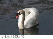 Купить «Лебедь-шипун в тающем пруду Московского зоопарка», фото № 655440, снято 16 апреля 2005 г. (c) Андрей Ильин / Фотобанк Лори