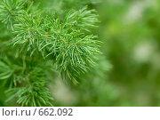 Купить «Ветка хвойного дерева», фото № 662092, снято 1 января 2009 г. (c) Евгений Дробжев / Фотобанк Лори