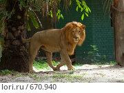 Купить «Лев (Panthera leo)», фото № 670940, снято 23 марта 2008 г. (c) Татьяна Белова / Фотобанк Лори