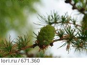 Купить «Ветка лиственницы с шишкой», фото № 671360, снято 18 мая 2008 г. (c) Андрей Рыбачук / Фотобанк Лори
