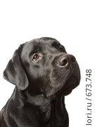 Купить «Собака черный лабрадор », фото № 673748, снято 24 января 2009 г. (c) Баевский Дмитрий / Фотобанк Лори